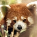 Avatar of user red pandi