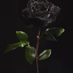 Cover of track Black Rose by Shadowrodz3